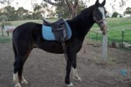 Beautiful Bling Gelding  on HorseYard.com.au