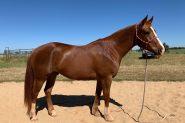 Rising 6-year-old QH Gelding  on HorseYard.com.au