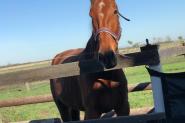 Gorgeous Standardbred  on HorseYard.com.au