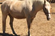 QH x TB Palomino Mare on HorseYard.com.au