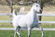 Pure Arabian mare on HorseYard.com.au