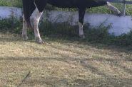 3 year old Gypsy Cob x paint gelding on HorseYard.com.au