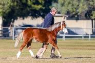 Exquisite Welsh A Yearling gelding. Super show/Harness prospect on HorseYard.com.au