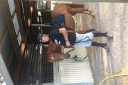 Quarter horse cross  on HorseYard.com.au