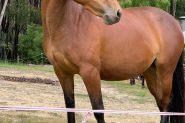 Outstanding mare on HorseYard.com.au