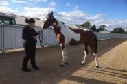 Skewbald standardbred mare on HorseYard.com.au