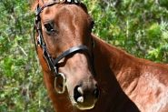 Quarter horse broodmare  on HorseYard.com.au