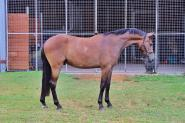 Welsh B x Warmblood Gelding on HorseYard.com.au