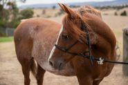 14.2 Arabian Gelding on HorseYard.com.au