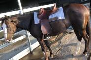 Stock Horse X Paint Mare  on HorseYard.com.au