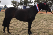 Beautiful Competitive HRCAV or Show or Dressage Mount  on HorseYard.com.au