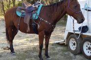 'CEDERVALE CATTLEGIRL'  on HorseYard.com.au