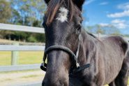 Black WB Colt! Urgent! on HorseYard.com.au