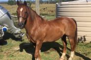 Clydesdale X Quarter Horse Meet Nugget on HorseYard.com.au