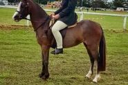 Beautiful Welsh mare on HorseYard.com.au