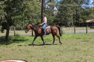 9 y/o bay standardbred gelding on HorseYard.com.au