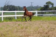 Welsh Cob- Pony Dressage/ Show/ Hunter Potential! on HorseYard.com.au