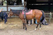 OTTB Mare on HorseYard.com.au