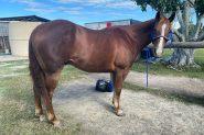 12yo Quiet Quarter Horse Gelding on HorseYard.com.au