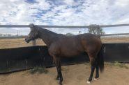 Kind Allrounder on HorseYard.com.au