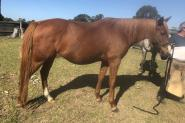 Chestnut mare on HorseYard.com.au