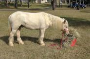 Harness pony on HorseYard.com.au