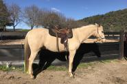 Quarter horse x Morgan horse on HorseYard.com.au