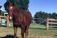 Registered QH Gelding on HorseYard.com.au