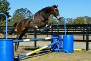 Talented Gentleman - Compete or Pleasure on HorseYard.com.au