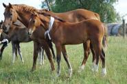 German Riding Pony Filly on HorseYard.com.au