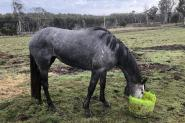 Unbroken Grey Tb filly on HorseYard.com.au
