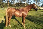 Stunning performance pony on HorseYard.com.au