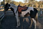 Beautiful Willing Mare  on HorseYard.com.au