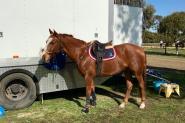 Educated Gelding on HorseYard.com.au