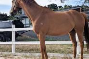 Dressage school master  on HorseYard.com.au