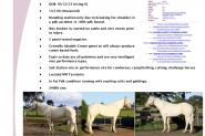AQHA Stallion - PHAA Approved and QH IBF Paid on HorseYard.com.au