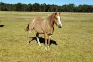 Welsh Pony on HorseYard.com.au