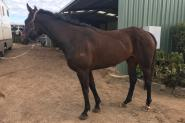 Potential Moshe broodmare  on HorseYard.com.au