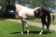 Skewbald Standardbred Stallion on HorseYard.com.au