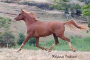 Pure Crabbet Arabian Stallion on HorseYard.com.au