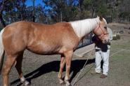 Chilli - Palomino Mare on HorseYard.com.au