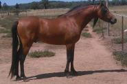 Welsh B Stallion - Bamborough Royal Usher. on HorseYard.com.au