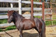 Miniature gelding on HorseYard.com.au