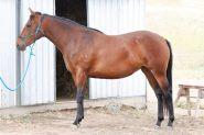 Stunning ASH mare on HorseYard.com.au