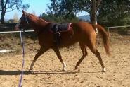 Paint x QH mare on HorseYard.com.au