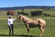 Unbroken Registered 2 year old palomino  Quarter horse gelding . Australian and USA Hall of fame bloodlines on HorseYard.com.au