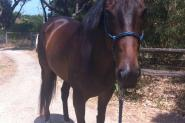Thoroughbred Gelding on HorseYard.com.au
