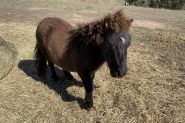 Gelding and stallion miniature ponies - must be sold together on HorseYard.com.au