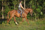 Talented Part Welsh on HorseYard.com.au