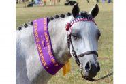 Australian Pony Mare on HorseYard.com.au